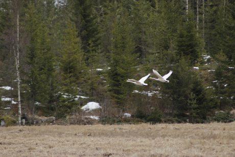 swans flying.